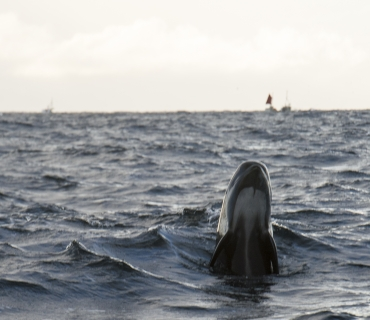 Pilot whale spy hopping